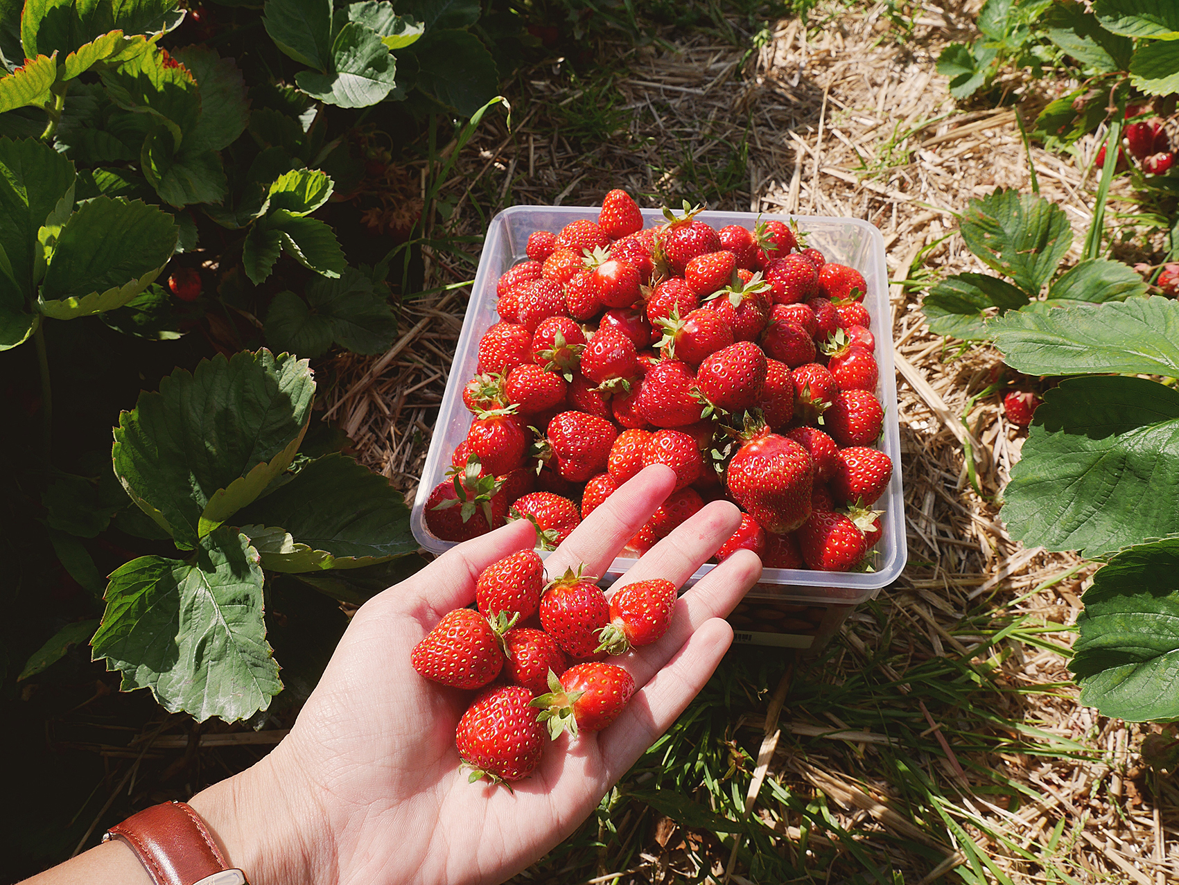 STRAWBERRY PICKING FARM